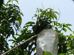 Réception du contenu du nid dans un sac fariné à la farine de riz
