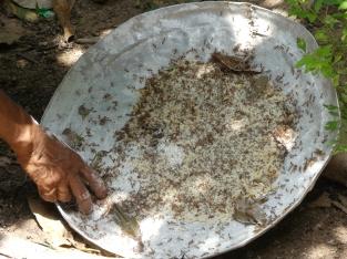 Tri des fourmis dans un plat fariné à la farine de riz