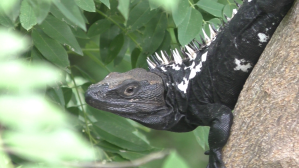 Zipolite Iguane