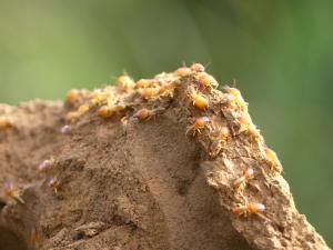 Termites soldats